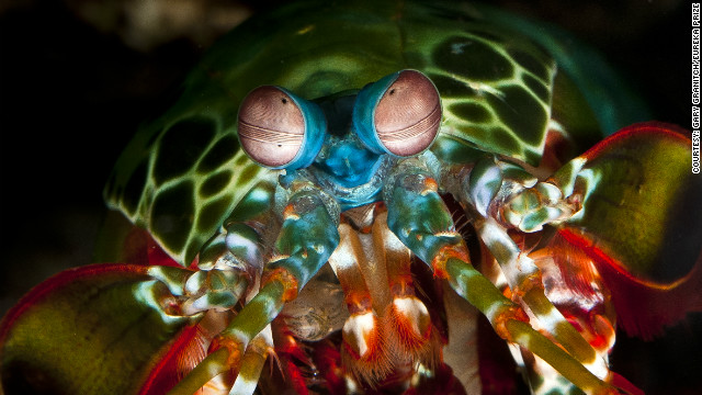 The brightly colored peacock mantis shrimp has one of the most complex visual systems in the marine world, and powerful club-like appendages that can smash through the shells of molluscs. Photo by Gary Granitch.