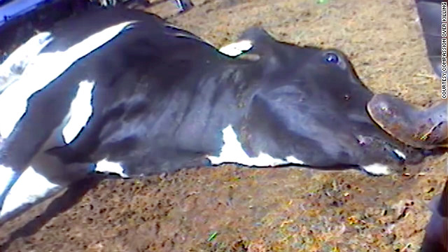 USDA suspends California slaughterhouse after &#039;unacceptable treatment of cattle&#039;