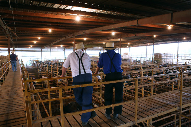 The Norwood Producers Auction has seen an unprecedented rate of dairy cattle being sold.