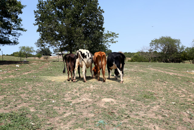 Recent rains have helped pastures turn green, but farmers say cattle would starve on this grass.
