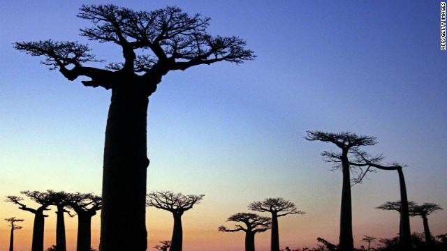 Madagascar apuesta a salvar sus majestuosos árboles baobab