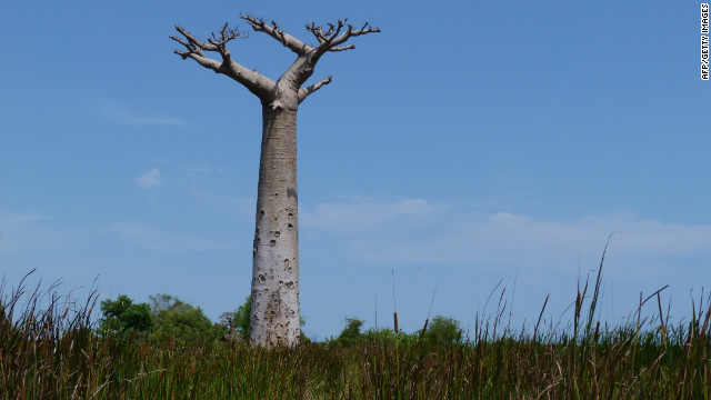 The baobab is often described as &quot;the upside down tree&quot; due to its unusual shape -- its branches look like roots sticking up in the air. 