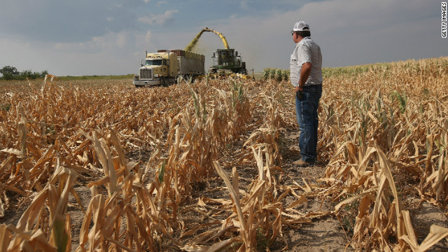 Corn shortage forces farmers to feed cattle candy
