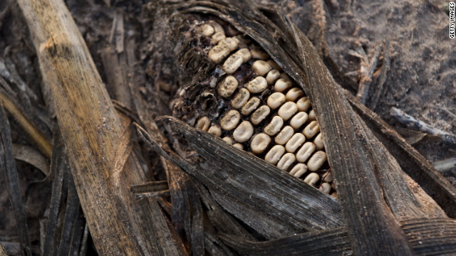 Rotting corn was damaged by severe drought on a farm near Bruceville, Indiana.