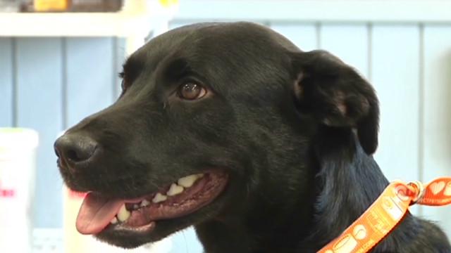 Bucky, el perro labrador que viajó 800 kilómetros para ver a su dueño