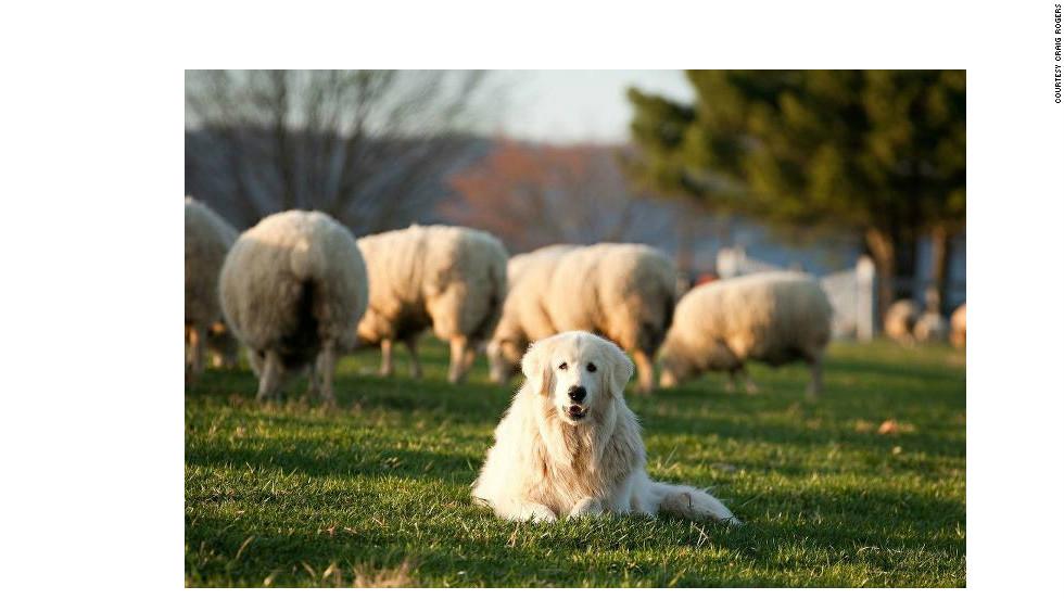 Pastorear ovejas
