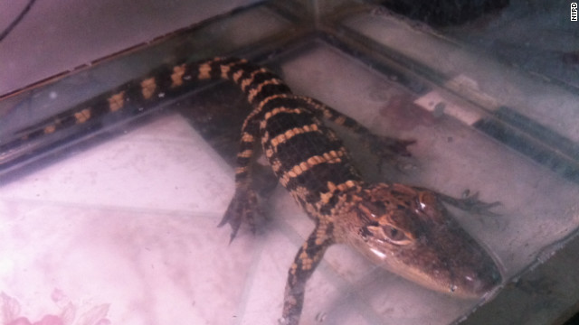 Animal control authorities removed 13 exotic pets from a housing project in Brooklyn, where the animals -- including two small alligators -- were mostly kept in fish tanks, the NYPD said.