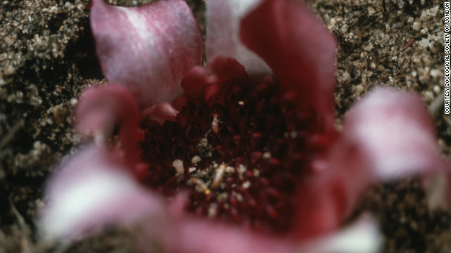 Around 95% of the West Australian underground orchid's natural habitat has been destroyed leading to estimates that less than 100 exist in the wild. 