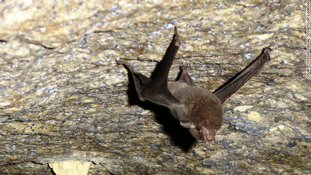 Found in two small caves on Silhouette and Mahe, Seychelles, it is thought to be only up to 100 mature individuals of this rare bat species left.