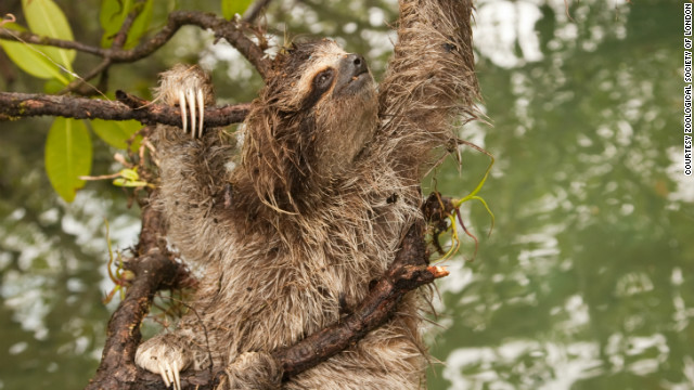 There are less than 500 individual pygmy three-toed sloths left in the wild and are only found in on the Isla Escude de Veraguas, Panama.