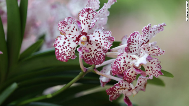 """Vanda William Catherine"" orchid is the latest in a long line of orchids named for foreign dignitaries and celebrities by officials in Singapore."