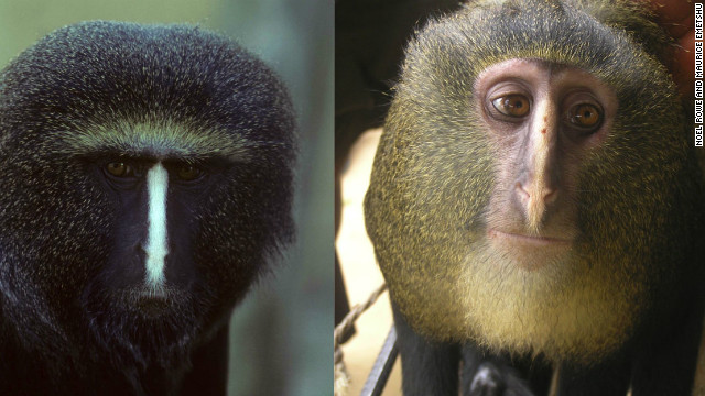 Initially scientists were not sure if the adult male Owl Face on the left and the Lesula on the right were the same species.