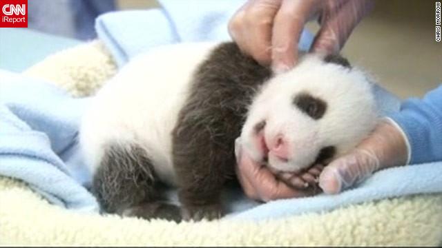 "Ayuda a ""bautizar"" a este bebé panda gigante"