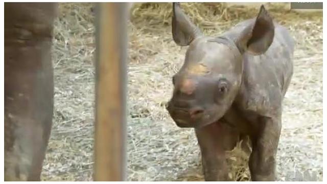 Una rara bebé rinoceronte nace en cautiverio en el zoológico de Pittsburgh