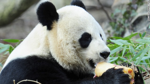 Giant panda Mei Xiang enjoys a fruitsicle January 20, 2011, at the Smithsonian Institution's National Zoo in Washington, DC.