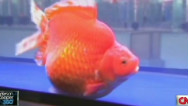 RidicuList: Goldfish beauty pageant