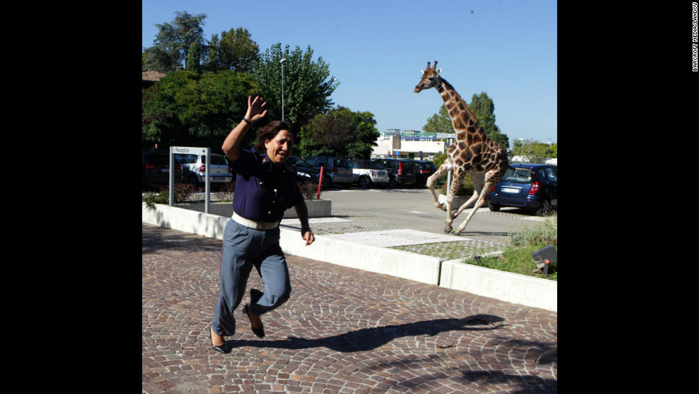 A giraffe runs loose after escaping from the circus Friday, September 21, in Imola, Italy, southeast of Bologna. The animal kept its captors at bay for hours, damaging cars and startling bystanders, before police cornered it in a grocery parking lot, the state-run Italian news agency ANSA reported. The giraffe later died of cardiac arrest after being returned to the Rinaldo Orfei Circus, ANSA said. <a href='http://www.cnn.com/SPECIALS/world/photography/index.html' target='_blank'>See more of CNN's best photography</a>.
