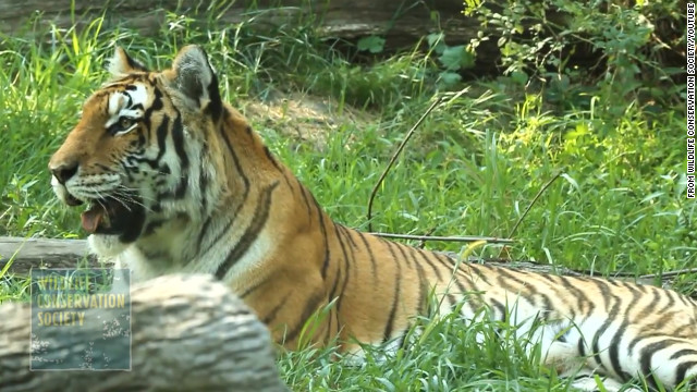 The exhibit houses Amur tigers, also known as Siberian tigers, as well as Malayan tigers..