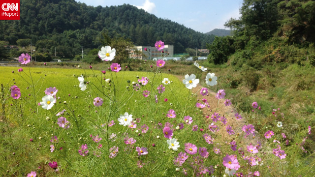 """The rice is almost ready to be harvested, the sun was shining, and there were lovely flowers blooming all along the road,"" said Michelle Park in Chuncheon, South Korea. <a href='http://ireport.cnn.com/docs/DOC-846120'>She shot this photo</a> with her iPhone 4S."