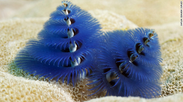 Christmas tree worms on Opal Reef, Great Barrier Reef