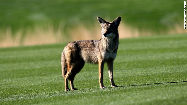Invasion of Urban Coyotes