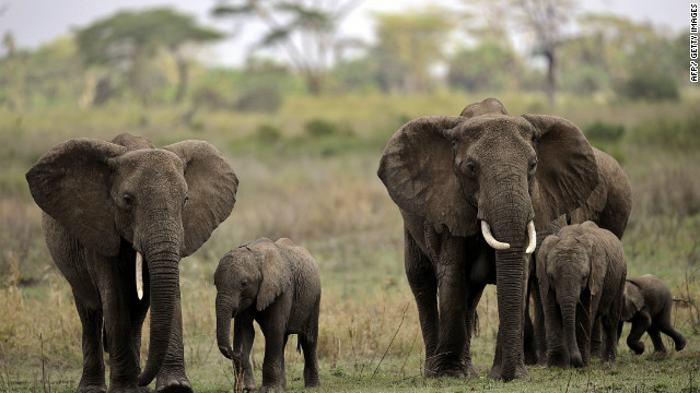 Elephants are among the abundant wildlife in Serengeti National Park.