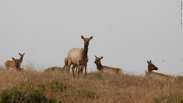 "Point Reyes also has the remains of an old dairy ranch — and more. ""There's a managed herd of elk within view,"" Caligiuri says."