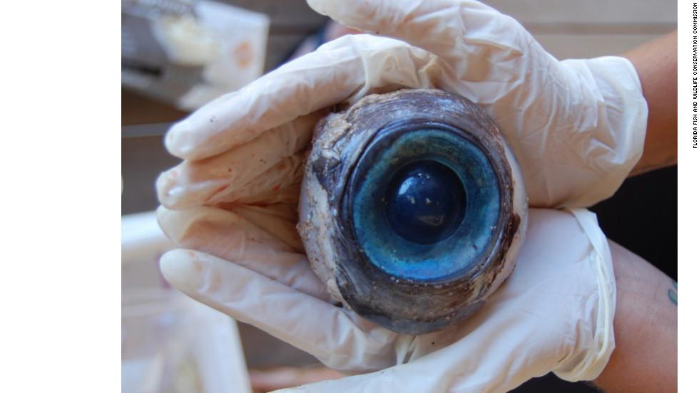 Hallan ojo gigante en playa de Florida