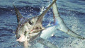 Saving the swordfish catch