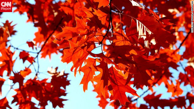 Oak leaves turn a vibrant red in <a href='http://ireport.cnn.com/docs/DOC-852701'>Beaverton, Oregon</a>.