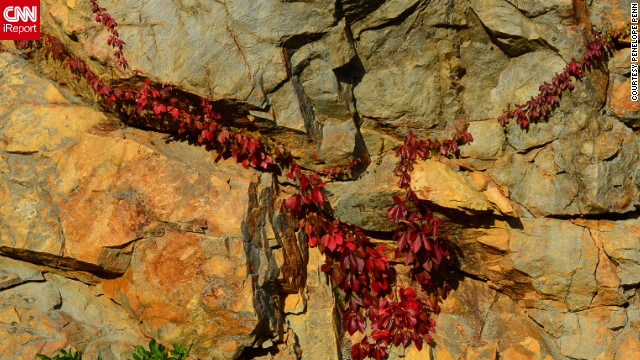 Deep red Virginia Creeper stretches across a rock outside <a href='http://ireport.cnn.com/docs/DOC-858299'>Roanoke, Virginia</a>.