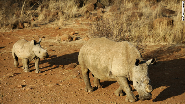 So far, 455 African rhinos have been killed this year for their horns based on a belief that they can cure cancer.