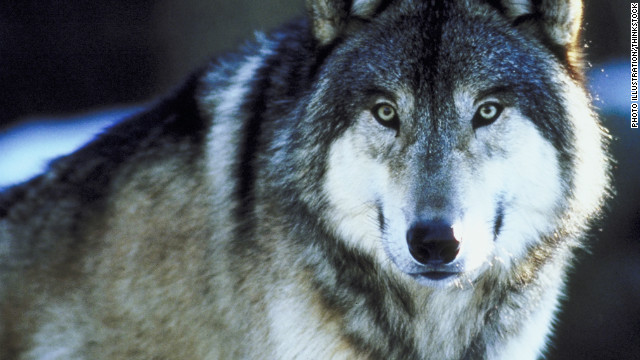 The wild wolf population in the lower 48 has grown from less than 300 just 30 years ago to more than 4,000 today. Minnesota has the largest gray wolf (pictured) population outside Alaska.