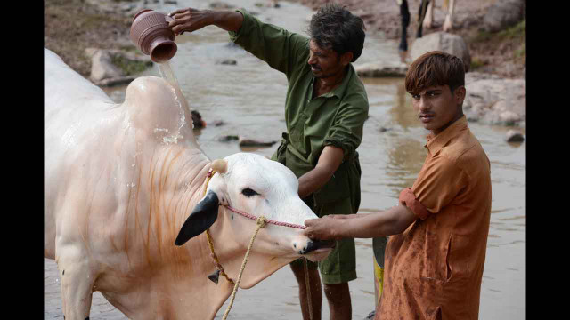 Pakistani farmers bathe their bull near an animal market in Islamabad on Friday.