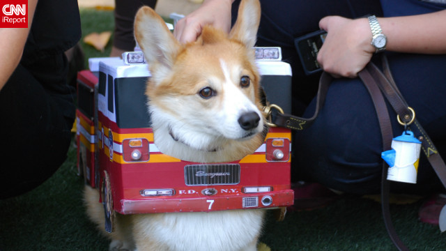 iReporter Rachel Cauvin captured this adorable Corgi-as-firetruck costume <a href='http://ireport.cnn.com/docs/DOC-861762'>at a 2012 Halloween dog parade</a> in New York.