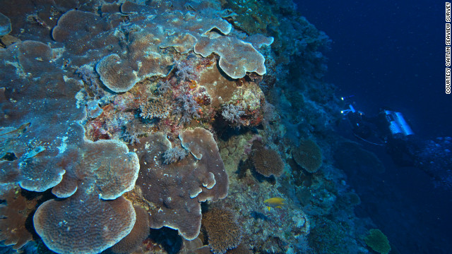 These healthy deep reefs are located directly under shallow reefs degraded by storms and other stresses including coral bleaching and invasive crown-of-thorns starfish plagues. The deep coral is often flat because of the lack of light at depth. 