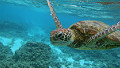 A turtle on Australia's Great Barrier Reef