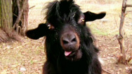 Goat face will haunt your dreams