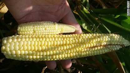 corn ears