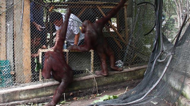 ¿Te gustaría jugar videojuegos con orangutanes?
