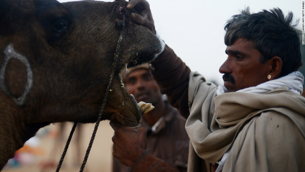 A man opens the mouth of his camel for sale for potential buyers to see during the early morning hours at a camel fair grounds on the outskirts of Pushkar, India, on Wednesday, November 21. The annual five-day camel and livestock fair, held in the town of Pushkar in the state of Rajasthan, is one of the world's largest camel fairs. In addition to buying and selling of livestock, it has become an important tourist attraction.