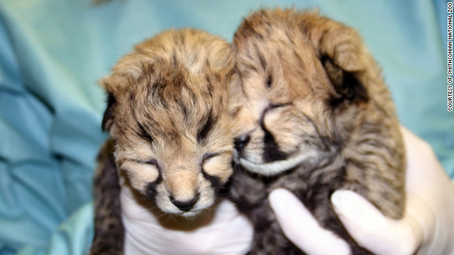 Gat and Lita, the baby cheetah cubs at the Smithsonian National Zoo, are named after award-winning sprinters.