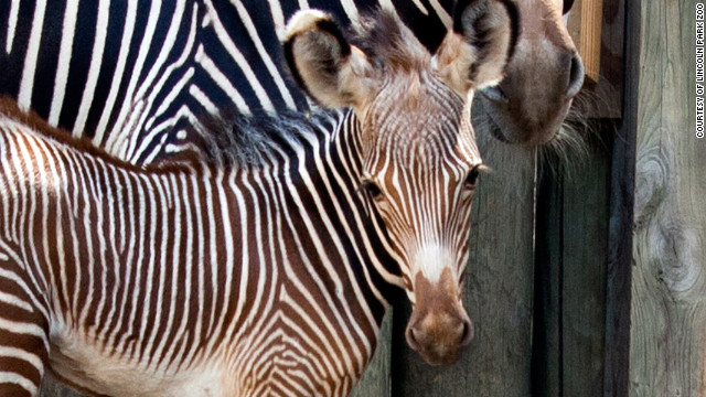 Kito, Lincoln Park Zoo's baby zebra colt, takes a breather from his energetic day with mom Adia.