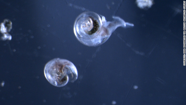Sea snails' shells dissolving in Earth's increasingly acidic oceans, study says