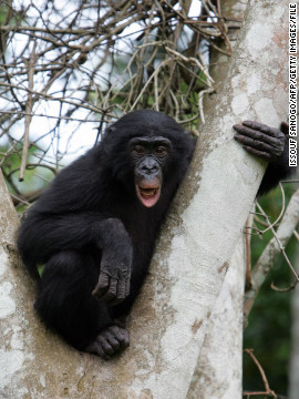 Also called &quot;pygmy chimpanzees,&quot; bonobos feed mainly in trees.