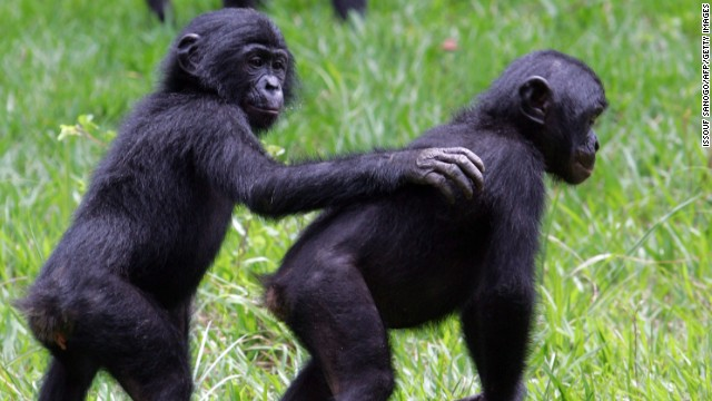La guerra del Congo amenaza a los simios bonobos