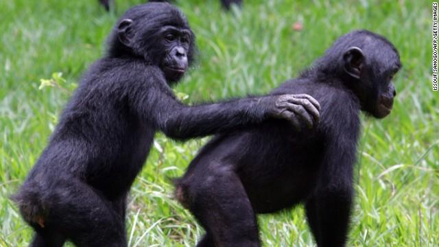 121126115719-bonobos-drc3-story-top.jpg