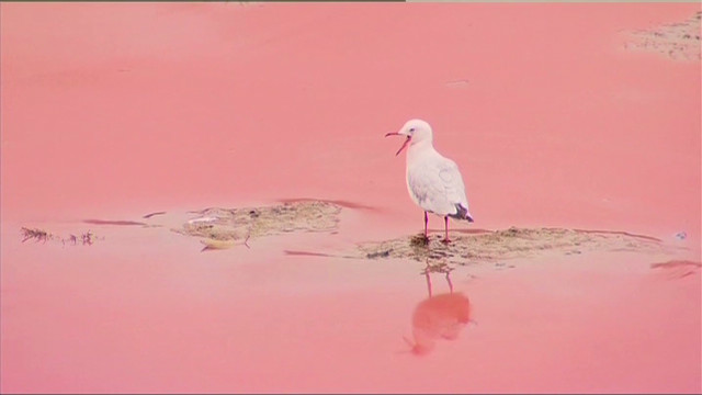 Un alga que prolifera en climas extremos tiñe de rojo playa de Sidney