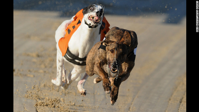 Berlin, right, battles with Hovex Lass during the 7th race at the Coral Brighton and Hove Greyhound Stadium on March 21 in Brighton, England.