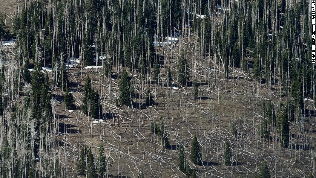 Drought leaves trees more susceptible to disease, like these pines trees near Strawberry Valley in Utah. In the U.S., millions of acres of forest have been damaged by beetles, according to a 2009 report by the U.S. Global Change Research Program. Less severe winters and longer summers are allowing beetles to thrive.
